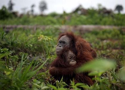 Credit: Sumatran Orangutan Society